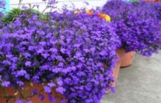 Lobelya çiçeği bakımı, özellikleri, çiçek...