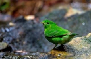 Nesli tükendiği düşünülen geniş gagalı yeşil...