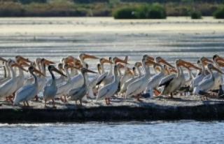 Pandemi pelikanlara yaradı: Arnavutluk'taki...